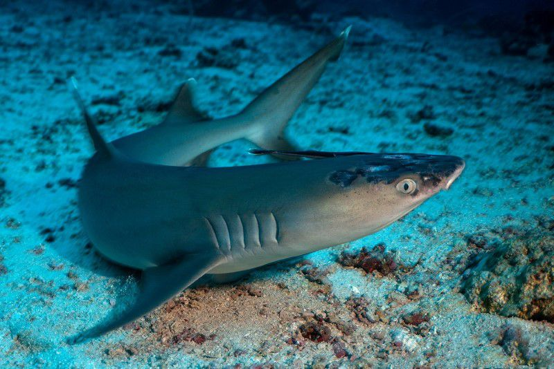 A whitetip reef shark with white spots and lesions, said by marine biologists could be linked to rising sea temperatures, lies on the seabed off the coast of Sipadan Island, Malaysia in this picture obtained from social media. JASON ISLEY/SCUBAZOO/via Reuters