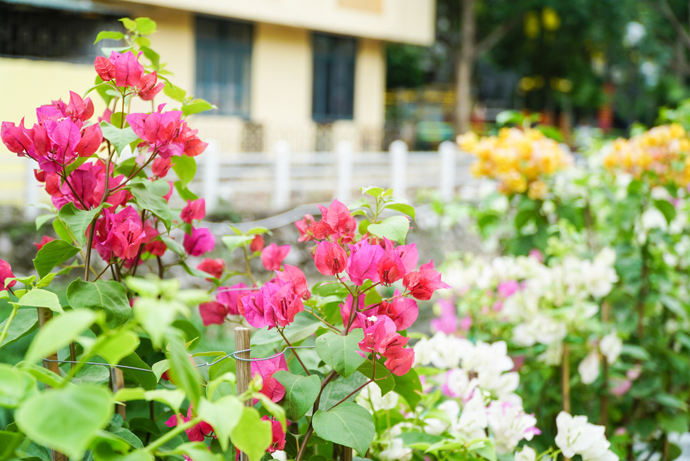 Flower at the glammed-up promenade of Truc Bach Lake, Ba Dinh District, Hanoi. Photo: Nguyen Hien / Tuoi Tre