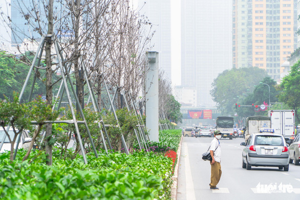 Wilt red maple trees on the median strip of Nguyen Chi Thanh Street in Hanoi. Photo: Pham Tuan / Tuoi Tre