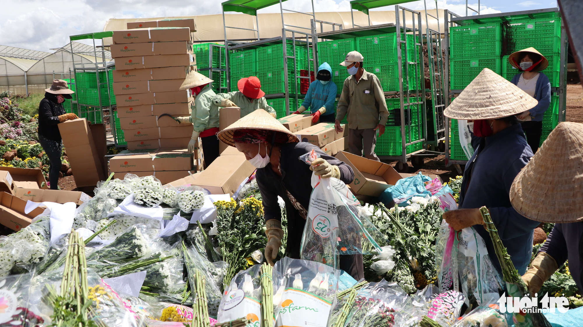 Workers unpack chrysanthemum for destruction in Da Lat City, Lam Dong Province, Vietnam. Photo: M.V. / Tuoi Tre