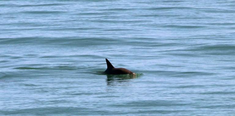 Mexico announces new steps to protect near-extinct porpoise