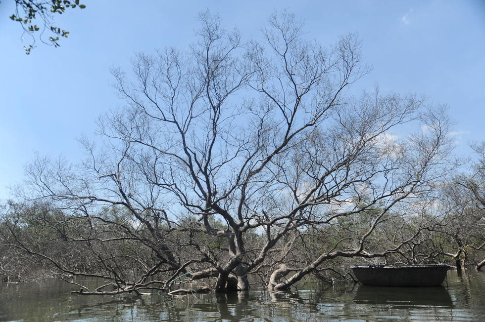 Mangrove forest in central Vietnam suffers from mass dieback