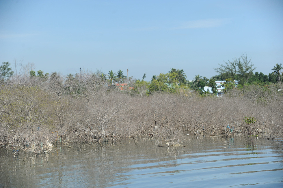 A swath of mangrove forest in Tam Giang Commune of the central Quang Nam Province suffers from dieback. Photo: Duc Tai / Tuoi Tre