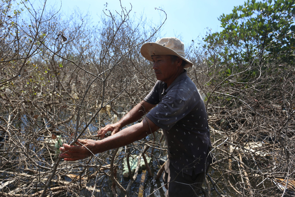 A local resident Tam Giang Commune of the central Quang Nam Province clears dead mangrove tree. Photo: Duc Tai / Tuoi Tre