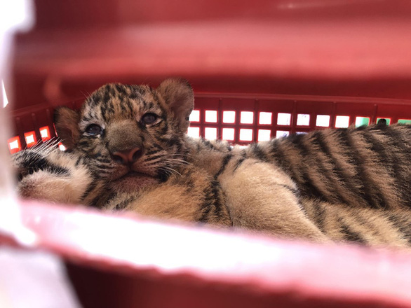 Two men held for trafficking tiger cubs in Vietnam