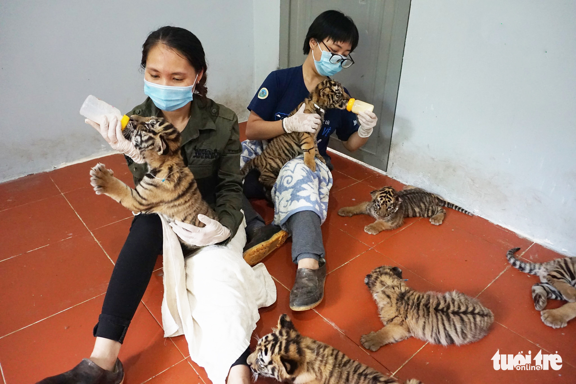 Tiger cubs are fostered at the rescue center at Pu Mat National Park in Province, Vietnam after being rescued from illegal trade on August 1, 2021. Photo: Xuan Cuong / Tuoi Tre