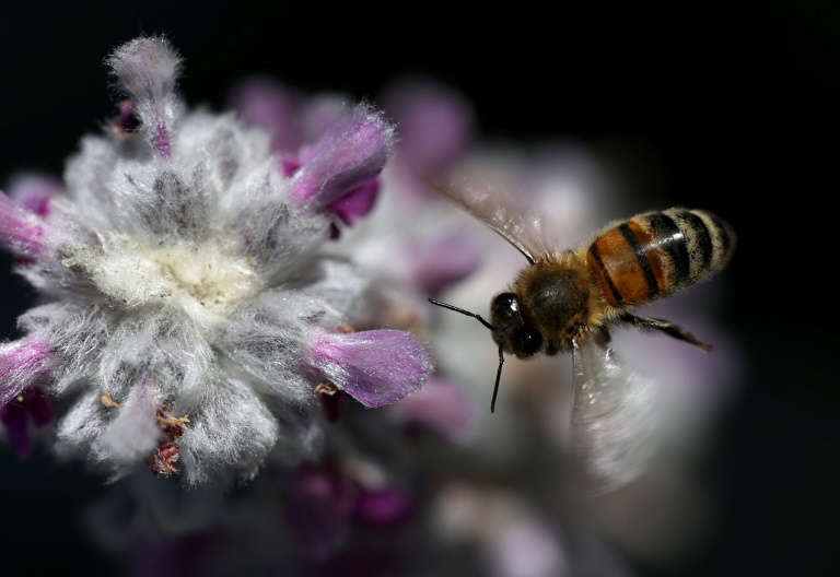 Pesticide threat to bees likely 'underestimated': study