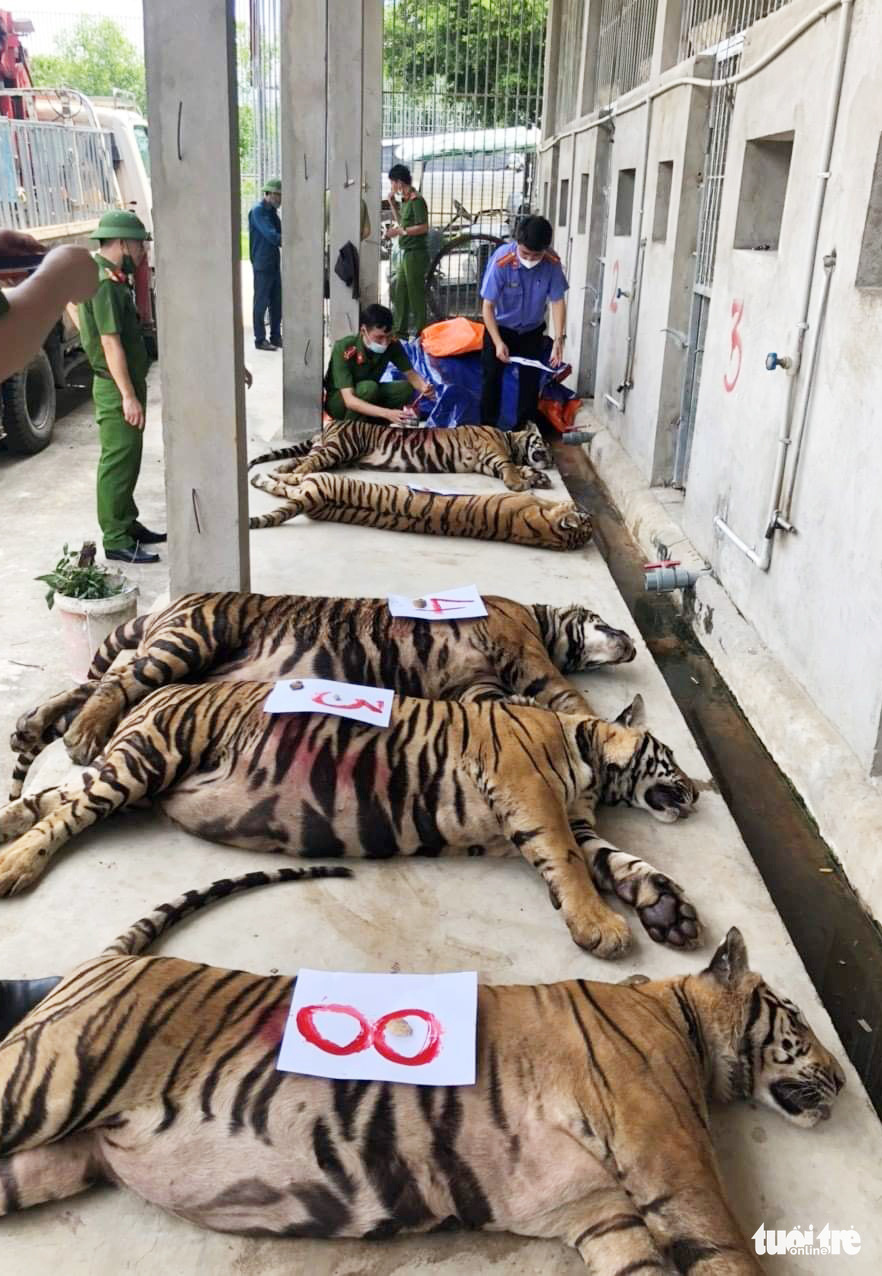 Anesthetized tigers are being checked by competent authorities in Nghe An Province, Vietnam. Photo: Bac Xuan / Tuoi Tre