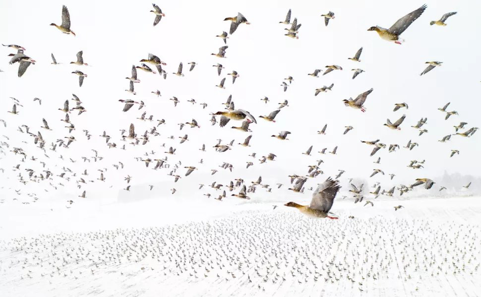 'Pink-Footed Geese Meeting the Winter' by Terje Kolaas, overall winner at the 2021 Drone Photo Awards