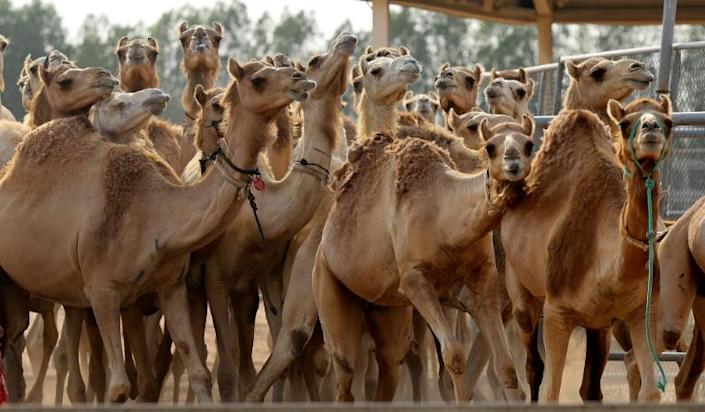 This picture taken on June 4, 2021 shows a view of cloned camel calves in a pen at the Reproductive Biotechnology Center in Dubai. Photo: AFP