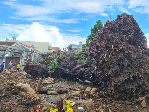 The 200-year-old banyan tree in Quang Ngai City is uprooted. Photo: Tran Mai / Tuoi Tre