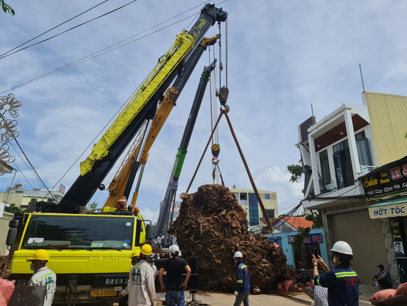 Tow trucks pull the 200-year-old banyan tree off the ground after it gets uprooted in Quang Ngai Province, September 25, 2021. Photo: Tran Mai / Tuoi Tre