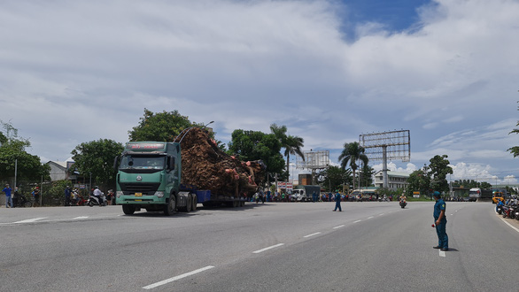 A container truck conveys a 200-year-old banyan tree to a new location in Quang Ngai Province, Vietnam, September 25, 2021. Photo: Tran Mai / Tuoi Tre